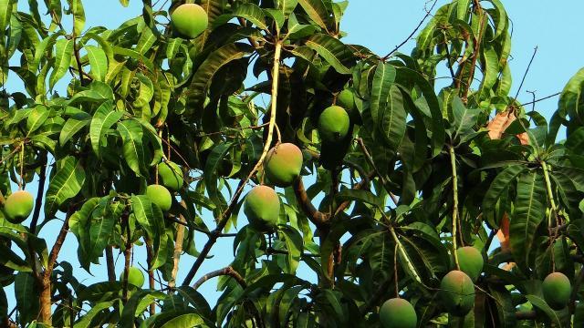 mango-tree-321075-1280.jpg