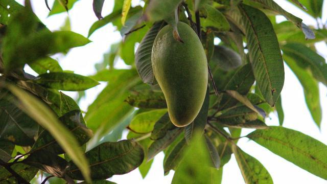 Mangue Carotte, La Réunion