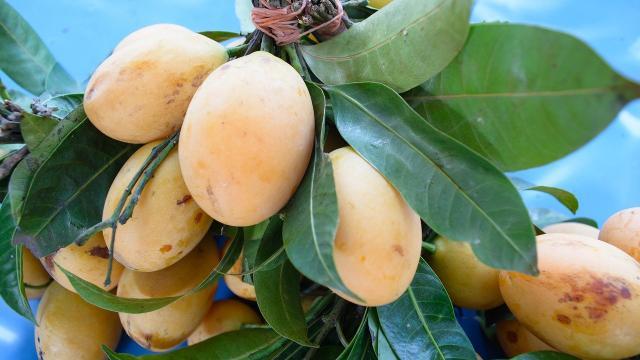 Mangue greffe, La Réunion