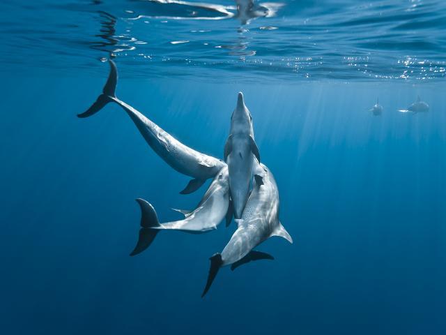 cetaces112-dauphin-eric-lamblin-dts-02-2021.jpg
