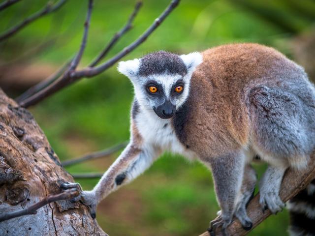Lémurien de Madagascar, Îles Vanille, Trapèze des Mascareignes