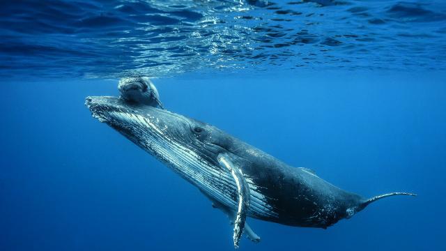 baleine et son baleineau