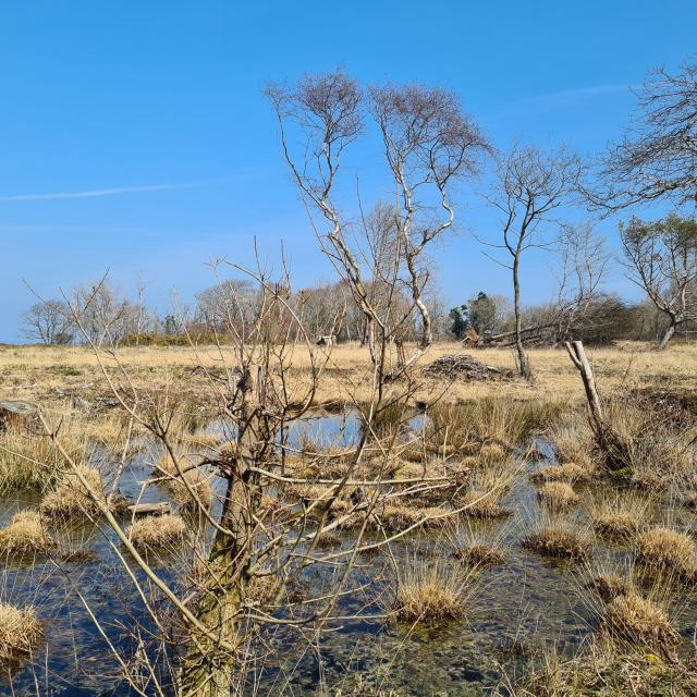 Paysage hivernal de lande avec arbres pliés par le vent, mare et touffes de végétations sèches