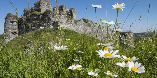 Vue sur les ruines d'un château médiéval, paquerettes au premier plan