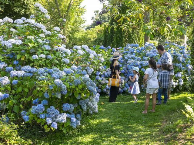 Famille de 5 personnes contemplant un massif d'hortensias bleu à la collection Shamrock