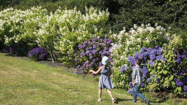 Deux enfants courant sur une allée gazonnée devant des massifs d'hydrangéas aux couleurs blanches et violettes
