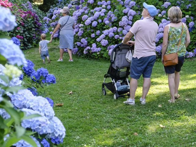 Couple avec un poussette et dame tenant un enfant par la main se baladant sur un chemin gazonné entre des massifs d'hortensias aux couleurs viollettes et bleues