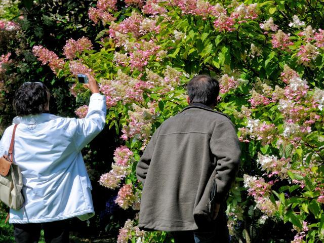 Couple devant un grand massif d'hygrangeas aux teintes roses