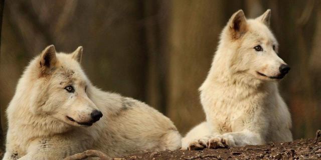 Deux loups blancs regardent dans la même direction