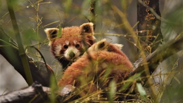 Panda roux perché dans des branches,regardant l'objectif
