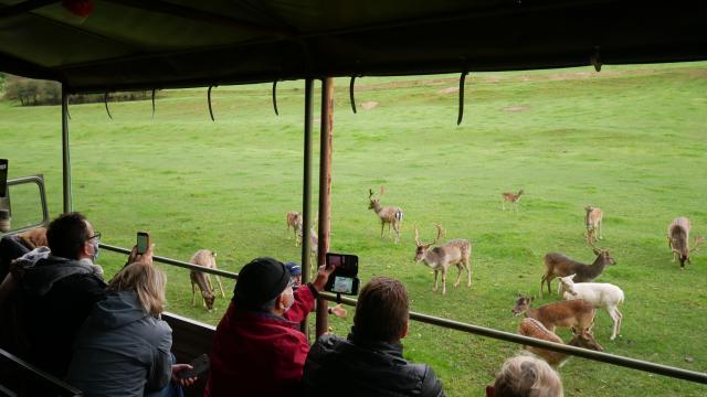 Groupe prenant à bord d'un camion militaire admirant ou prenant un photo un troupeau de cerfs et biches