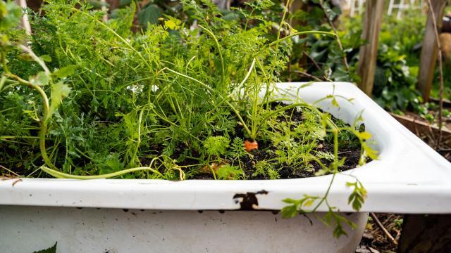 Plantation de carotte dans une baignoire