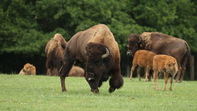 Troupeau de bisons adultes et bébés