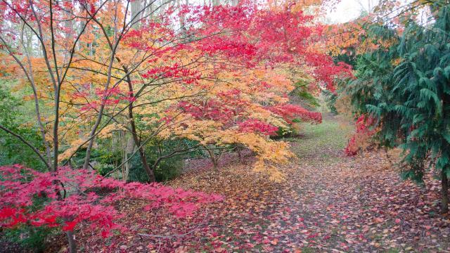 Arbre aux nuances de rouge et d'orange. Tapis de feuilles mortes au sol