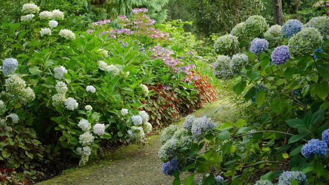 Buissons d'hortensia bleus et blancs. Buissons de fleurs roses au second plan