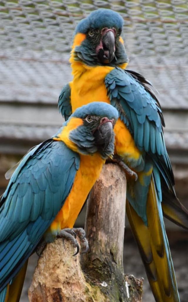 Perroquets du Parc des Oiseaux