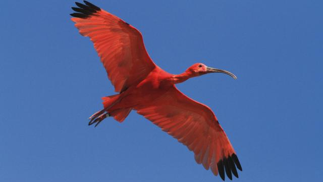 Ibis Rouge du Parc des Oiseaux