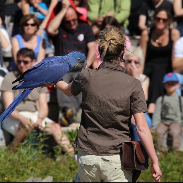 Ara Hyacinthe au Spectacle du Parc des Oiseaux