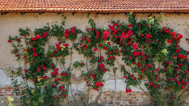 Mur fleuri en Dombes