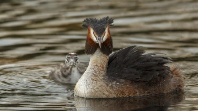 Grèbe huppé avec son petit sur un étang de la Dombes