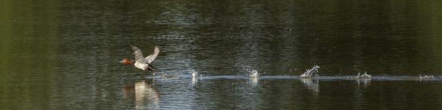 Envol de fuligule milouin sur un étang de la Dombes
