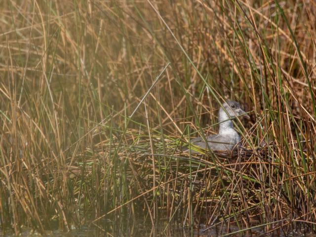 Jeune foulque dans son nid