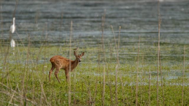 Biche au bord d'un étang de la Dombes