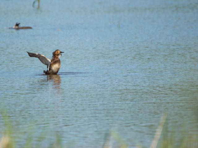 Fuligule milouin sur un étang de la Dombes