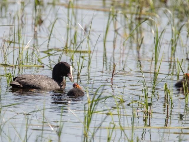 Foulque macroule sur un étang de la Dombes