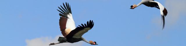 Grues royales au Parc des Oiseaux