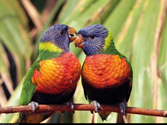 Loriquet à tête bleue au Parc des oiseaux
