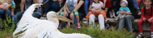 Pelican Blanc au Parc des Oiseaux