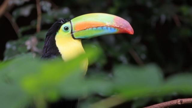 Toucan A Carene au Parc des Oiseaux