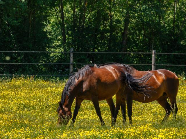 Chevaux en Dombes pré fleuri