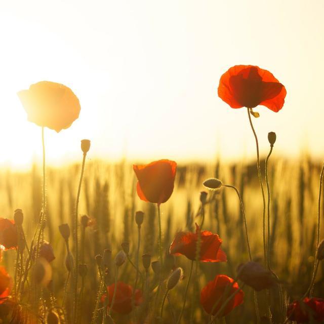 Poppies 174276 1920