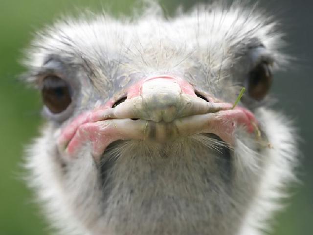 Camelus Autruche