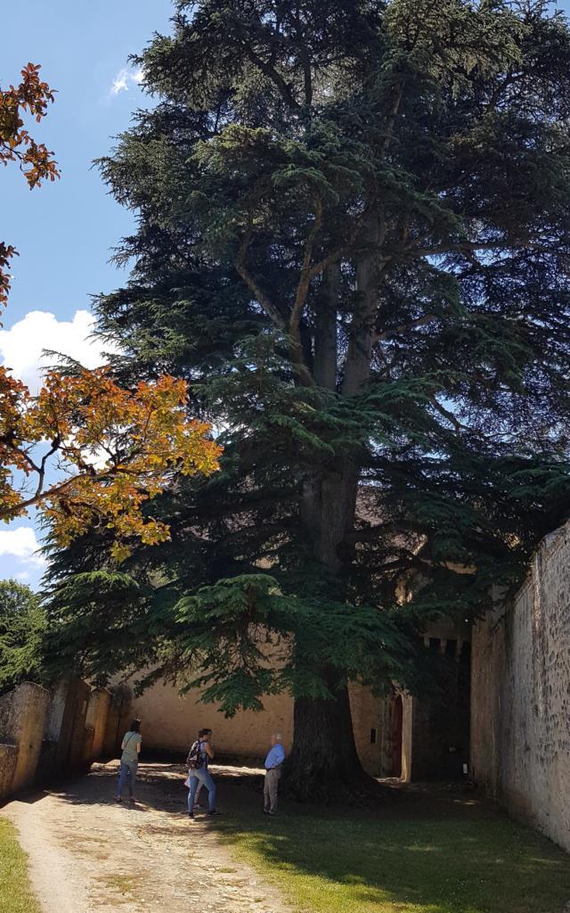 magnifique cèdre du Liban de 1651, haut de 35m