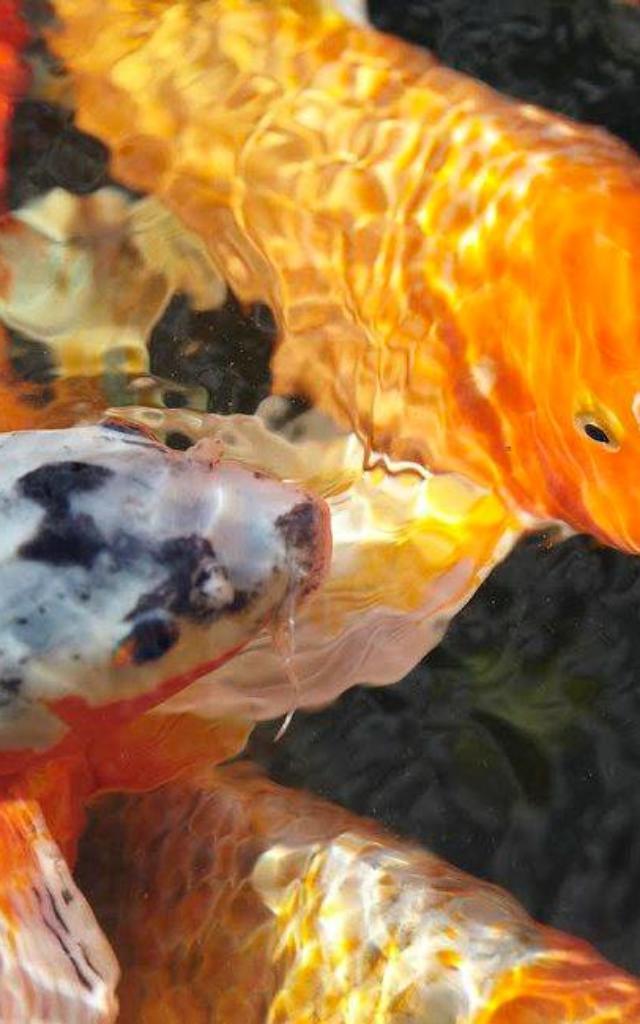 Carpe Koi des Jardins d'eau