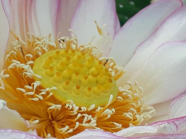 Jardins d'eau - Fleur de Lotus