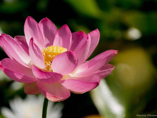 Jardins d'eau : Lotus Rose