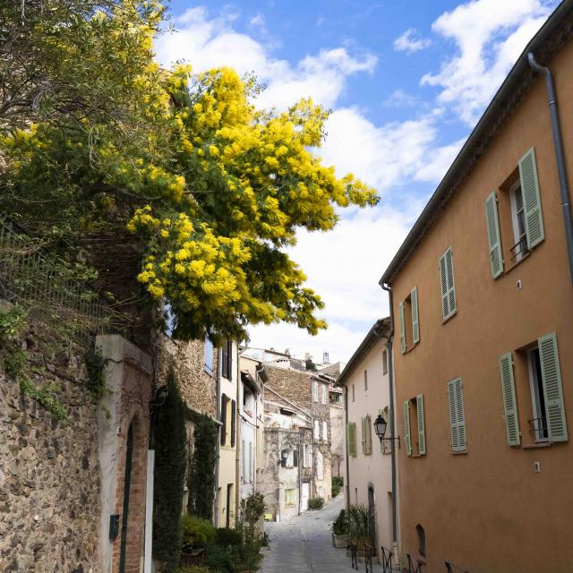 Mimosa Provence Grimaud Var (1)