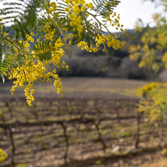 Mimosa Provence Grimaud Var (11)