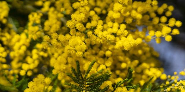Mimosa Provence Grimaud Var (12)