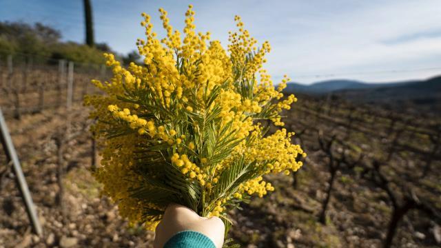 Mimosa Provence Grimaud Var (14)