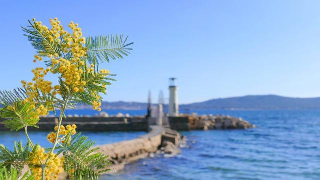 Mimosa Provence Grimaud Var (3)