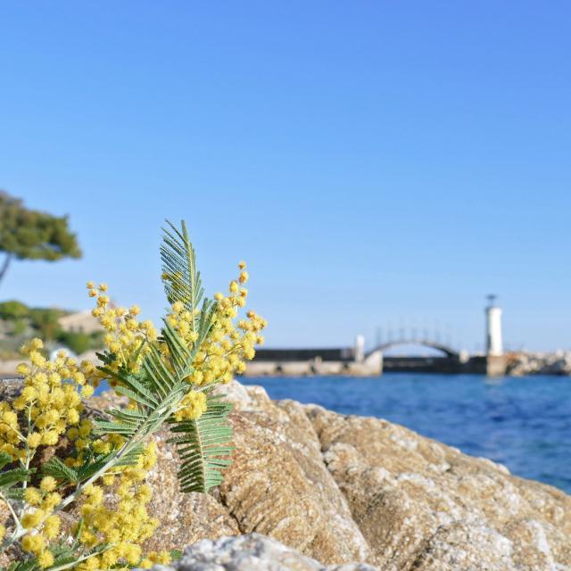 Mimosa Provence Grimaud Var (4)