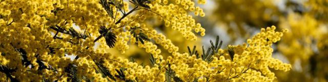 Mimosa Provence Grimaud Var (7)