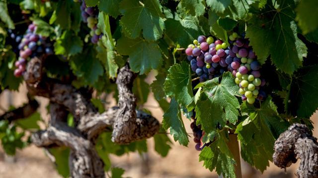 Vignoble Provence Grimaud Var (4)