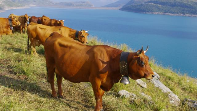 Mont-Cenis-alpages-vaches-tarines
