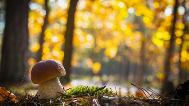 Ramasser des champignons dans la forêt au Collet d'Allevard